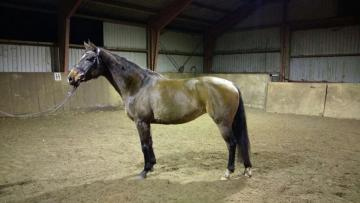 sprzedam konia ratsastuskoulu